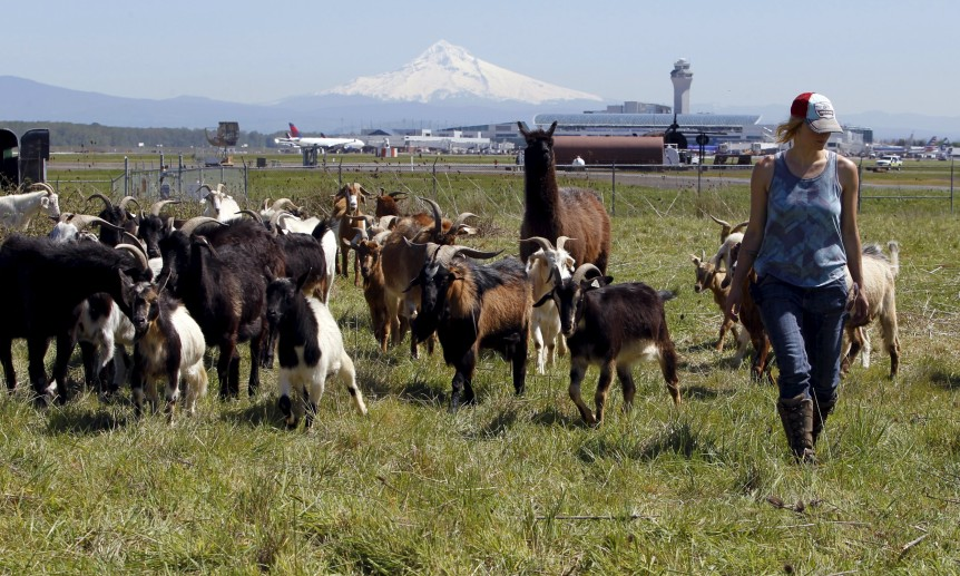 Shepherdess Briana Murphy herds goats at the Portland International Airport in Portland, Oregon, as Mount Hood is seen in the background, April 17, 2015. REUTERS/Steve Dipaola