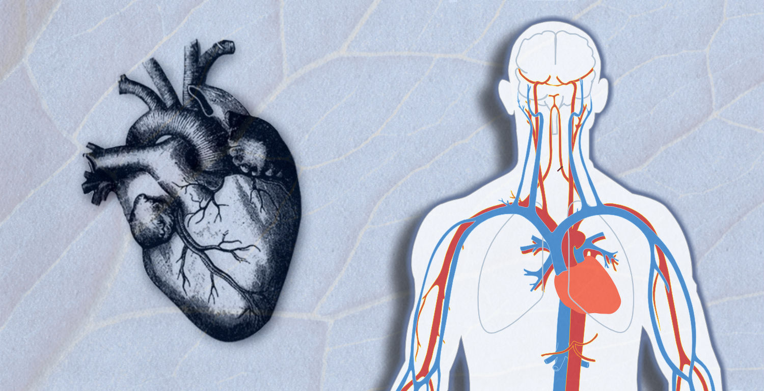 The Circulatory System The Hydraulics Of The Human Heart