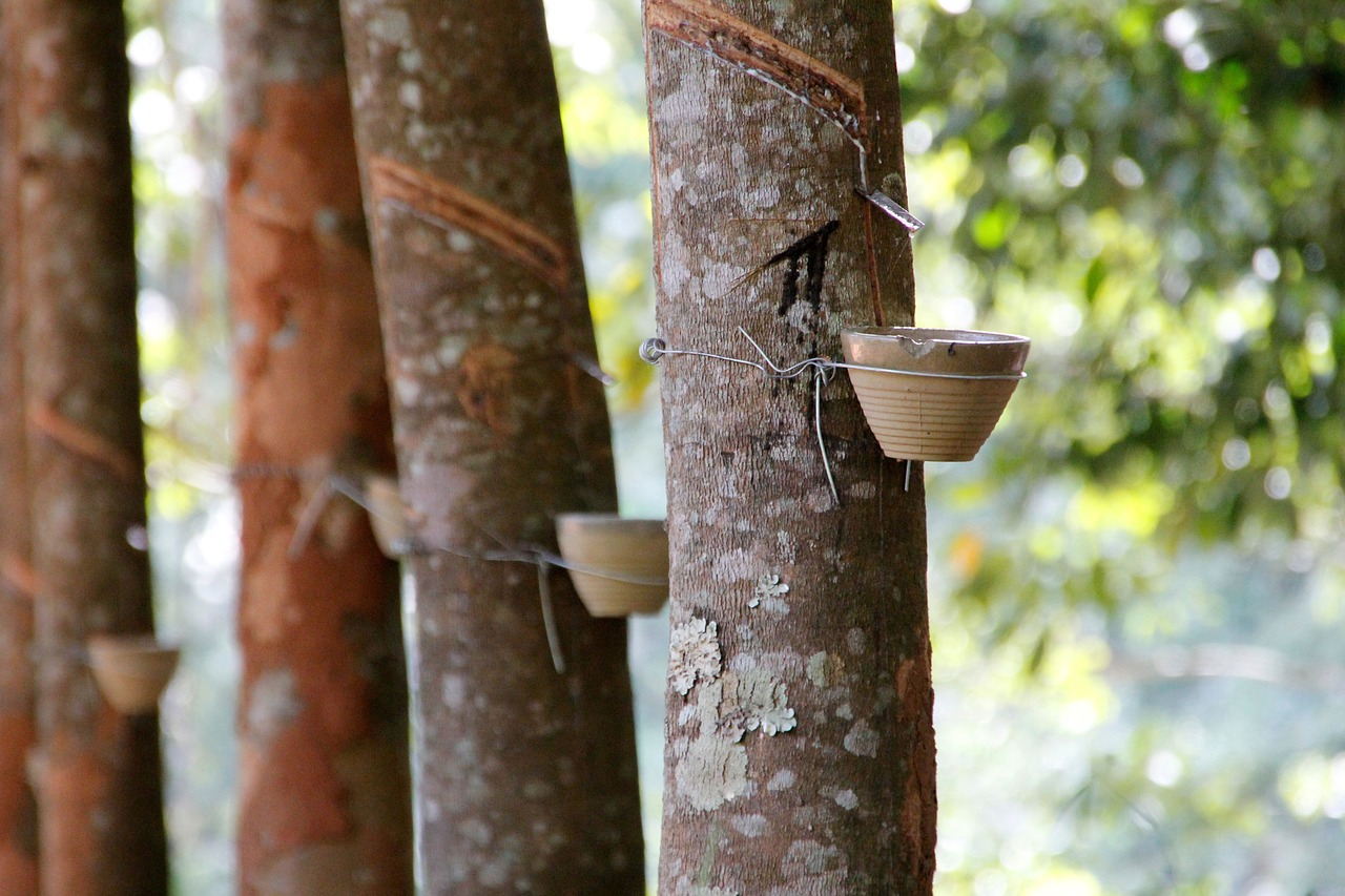 natural rubber, rubber tree, rubber plant