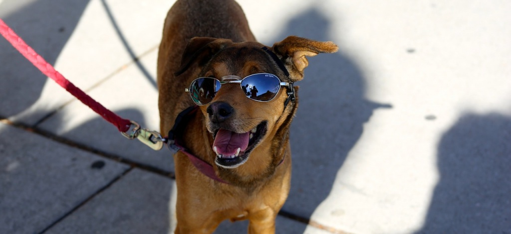 dog, sunglasses, shades, dog wearing sunglasses, shady