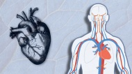 The Circulatory System: The Hydraulics of the Human Heart
