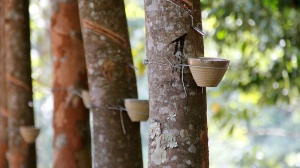 Oops There Goes Another Rubber Tree Plant: the History of Natural Rubber